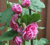 Chaters Double Rose Hollyhock