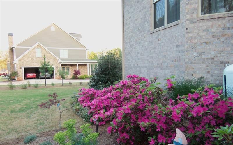 Azaleas along the back of our house