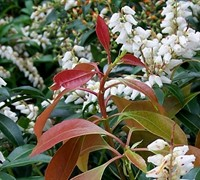 Scarlet Ohara Japanese Pieris Picture