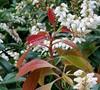 Scarlet Ohara Japanese Pieris