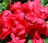 Bloom-A-Thon Azalea