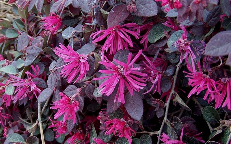 shrubs plant purple pixie loropetalum