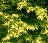Katsura Hime Japanese Maple