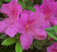 Autumn Amethyst Encore Azalea Picture