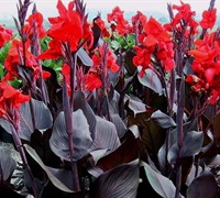 Tropicanna Black Canna Lily Picture