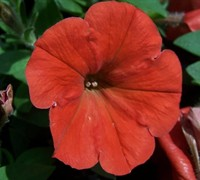 Good And Plenty Orange Petunia Picture
