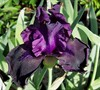 Hello Darkness Bearded Iris