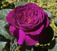 Ebb Tide Rose Picture