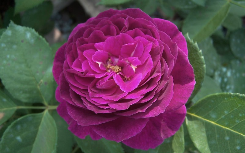Ebbtide Rose Picture