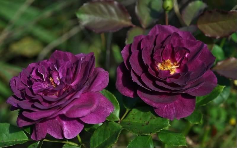 Ebb Tide Rose Picture