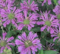 Petite Delight Bee Balm Picture