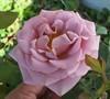 Koko Loco Floribunda Rose