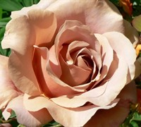 Koko Loco Floribunda Rose Picture