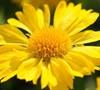 Mesa Yellow Gaillardia