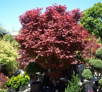 Ruslyn-In-The-Pink Japanese Maple Picture