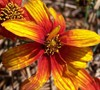 Sunset Strip Coreopsis