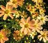 Sienna Sunset Coreopsis