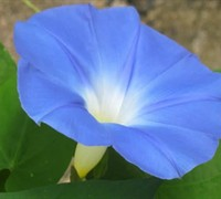 Heavenly Blue Morning Glory Picture