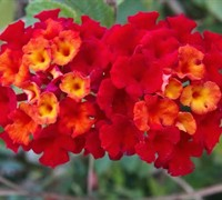 Dallas Red Lantana Picture