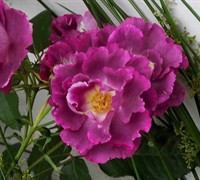 Stormy Weather Climbing Rose Picture