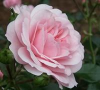 Bonica Rose Picture