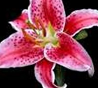 Stargazer Lilly Picture