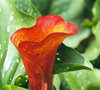 Calla Lilly Picture
