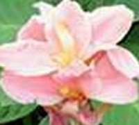 Pink Canna Picture