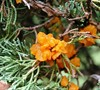 Picture about Golden Orange Jelly Like Fungus On Juniper