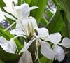 White Ginger Lily