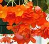 Illumination Begonia