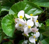 Baby Wing Begonias Picture