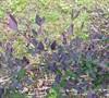 Purple Leaf Honeysuckle
