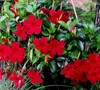 Crimson Red Dipladenia