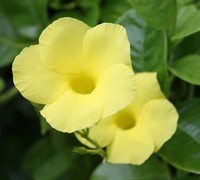 Yellow Mandevilla Picture