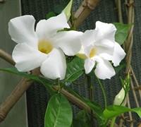 White Delight Mandevilla Picture