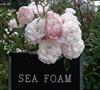 Sea Foam Rose