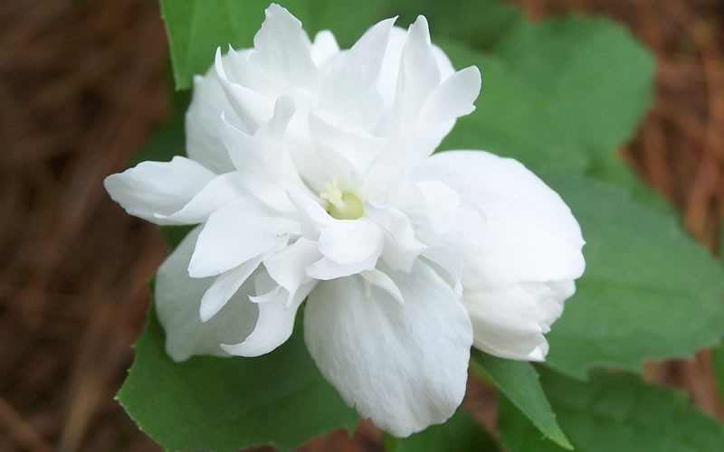Buckleys Quill Mock Orange Picture