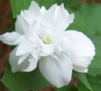 Buckley's Quill Mock Orange Picture