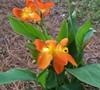 Orange Punch Canna Lily