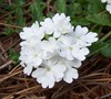 White Hail Hardy Verbena Picture