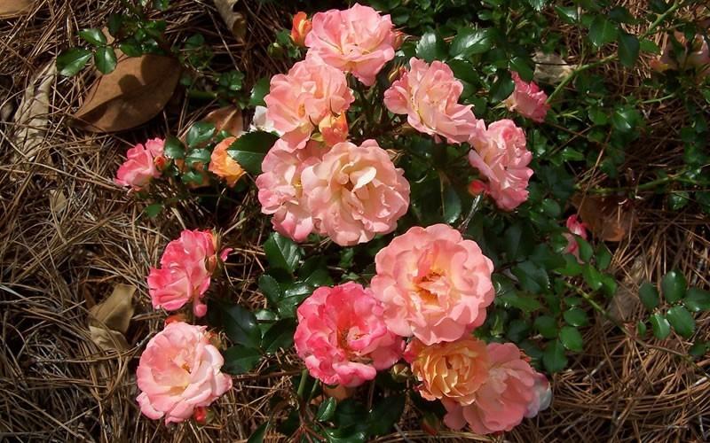 Peach Drift Rose Picture