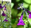 Navajo Dark Purple Salvia
