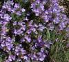 Pinacolada Violet Penstemon