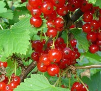 Red Currant Picture