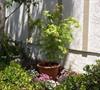 Japanese Maple-Acer palmatum