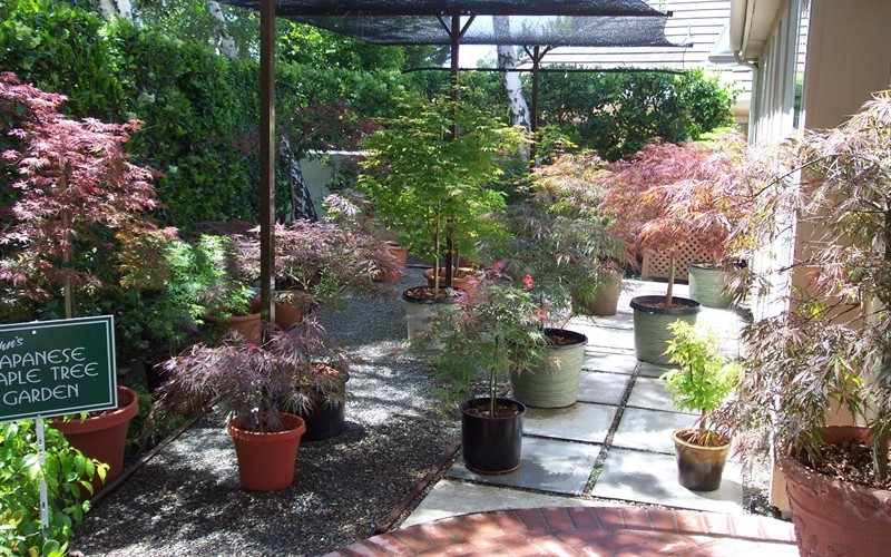 Perfect Japanese Maple Container Garden