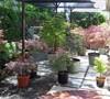 Japanese Maple Container Garden