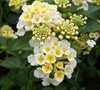 Sunny Side Up Lantana