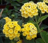 Chapel Hill Yellow Lantana Picture